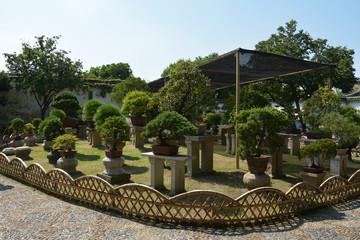 Bonsai tree in a garden. Row of bonsai trees.