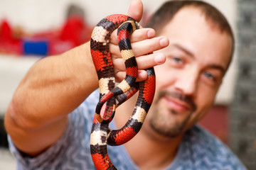 Boy with snakes. Man holds in hands reptile Milk snake Lampropeltis triangulum Arizona kind of snake. Exotic tropical cold-blooded animals, zoo. Pets at home snakes. Poisonous and non poisonous snake. Wall mural