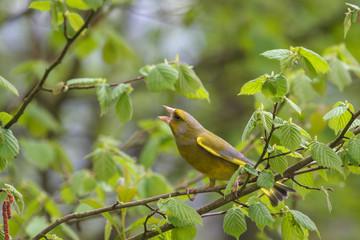 Grünfink mit wunderschönem Federkleid