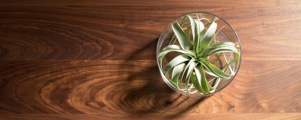 Air plant (Tillandsia xerographica) on walnut table 木製テーブルの上に飾ったエアープランツ