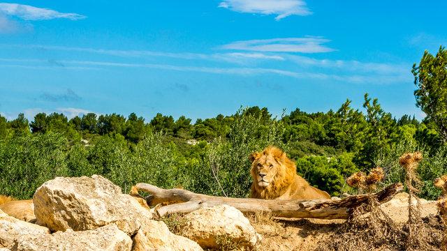 lion sigean