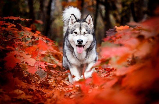 Alaskan Malamute dog for a walk in the woods