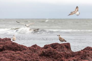 Juvenila fiskmåsar på en hög av tång vid havet