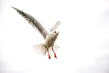 Black headed gull during a flight with spread wings