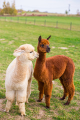 Colorful group of Alpacas on the farm. A variety of fleece types and colors