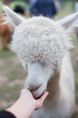 feeding white alpaca in farm, animal on green field