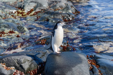 Chinstrap penguin on the beach in Antarctica with reflection