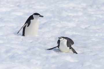 Chinstrap penguin creeping on snow