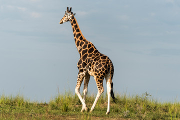 Giraffe in Murchison National Park, Uganda, Pearl of Africa
