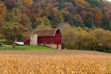 Beautiful autumn Wisconsin nature background. Rural landscape with classic red barn in colorful trees background, ripe corn field in a foreground. Midwest USA, Wisconsin. Agriculture background.