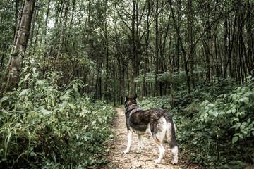 Husky im Wald