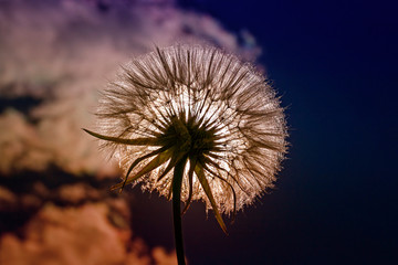 beautiful flower dandelion fluffy seeds against a blue sky in the bright light of the sun