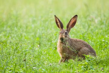 European Brown hare in meadow