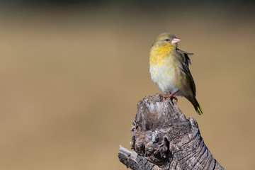 Close-up of a female weaver bird perching on a wood log