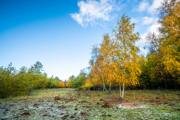 Autumn colors on birch trees under a blue sky