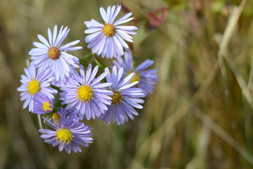 Autumn aster. Floral background. Purple flowers in the grass.