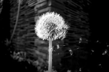 black white photo dandelion