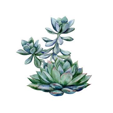 Watercolor succulents, green bouquet, echeveria illustration, botanical painting of dudleya and zwartkop. Sempervivum art. Elements for design of invitations, movie posters, fabrics.