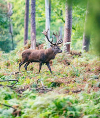 Red deer stag in autumn forest.