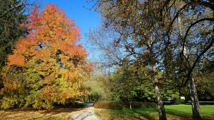 maple tree with colored leaves in autumn park