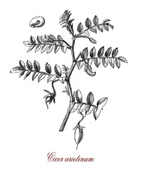 Vintage botanical engraving of chickpea, the seed are rich of protein and it is one of the oldest legumes cultivated from antiquity