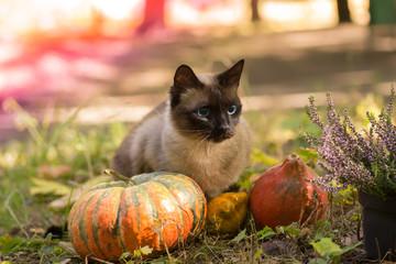 Cute cat sitting with Halloween pumpkins