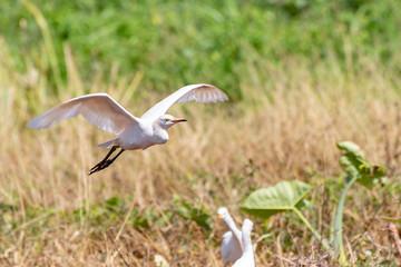 Cattle Egret landing on farm land in St. Elizabeth Parish, Jamaica