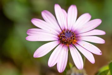 closeup of a beautiful pink flower on a garden
