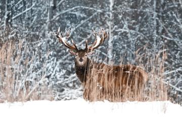 Fototapete - Lonely noble deer male in winter snow forest. Winter wonderland.