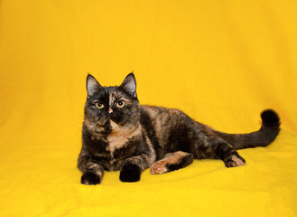 Portrait of Scottish straight shorthair cat