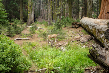 Deer in Sequoia National Park