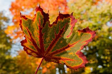Kolorowy jesienny liść