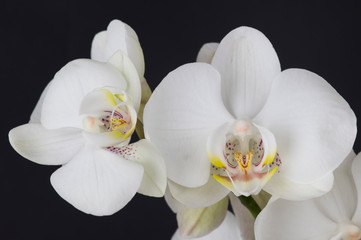 flower, white, orchid, nature, spring, blossom, plant, bloom, isolated, petal, branch, beauty, flowers, green, beautiful, tree, pink, apple, flora, floral, blooming, phalaenopsis, garden, tropical, bo