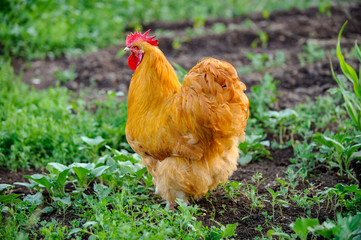 Meat-egg breed of chickens. Orpington. A large bird with outstanding performance for private farms. White, black, red, fawn, craggy color. Chicken grazing outdoors in a green farm field. Organic food