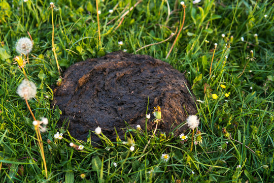 Dirty and smelly cow shit in the grass. Cow manure.