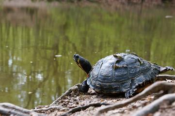 Gelbbauch-Schmuckschildkröte