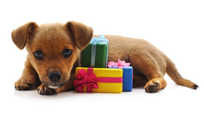 Brown puppy with gifts.