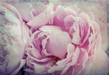 Shabby Chic Background   - Pink Peonies Flowers Grunge  Vintage   Photo