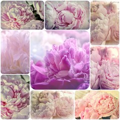Shabby Chic Collage   - Delicate Pink Peonies Flowers Grunge  Vintage Photo