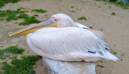 Pelecanus Onocrotalus - Pink Pelican Sitting on Stone -  Photo