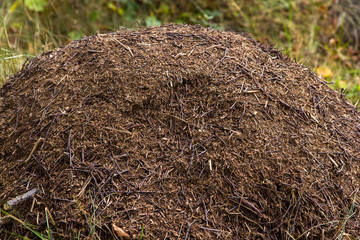 Ant heap in the forest with red ants