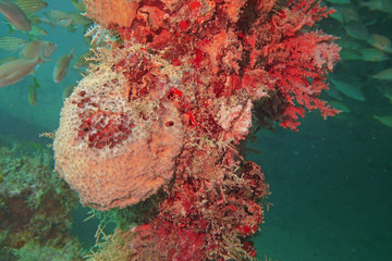 Beautiful pink coral on a wreck