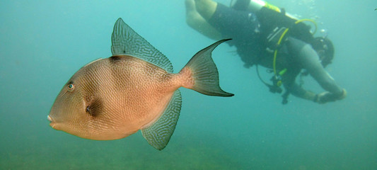 Grey Triggerfish and scuba diver