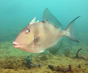 Lone grey triggerfish