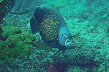 Lone French Angelfish on the reef