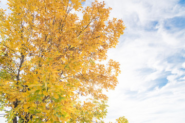 Changing season concept with beautiful Texas Cedar Elm trees leaves under autumn cloud blue sky. Stunning yellow fall foliage color background