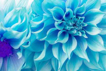 Dahlia petals (Pinnata Cav.)