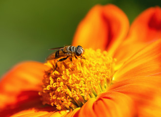 Flower Fly collecting pollen or nectar on Mexican sunflower, closeup. Natural green background with copy space.