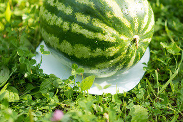watermelon lying on the green grass