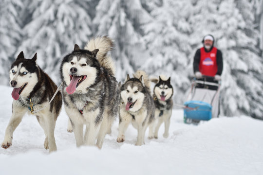 Sled dogs cup, nice dogs, nice faces